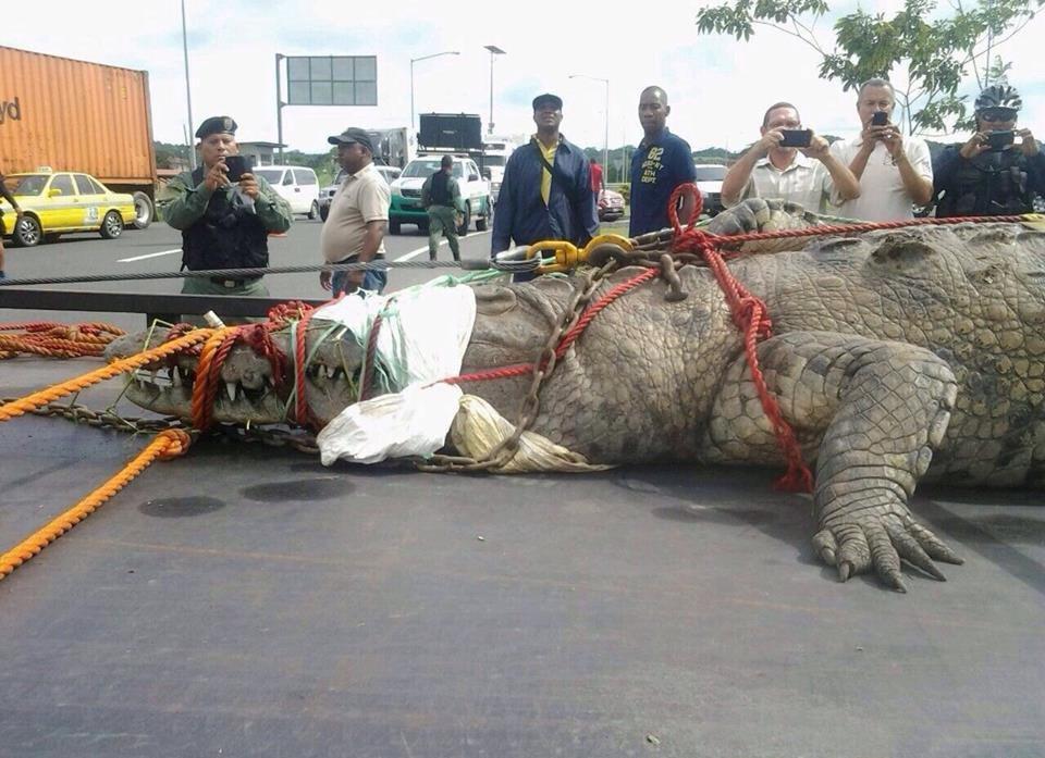 Крокодил, пойманный в Панамском канале