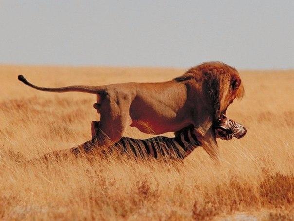 Лев, газель, зебра, Африка