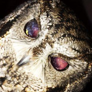 Слепая сова