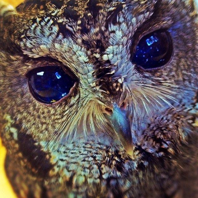 Слепая сова Зевс: история