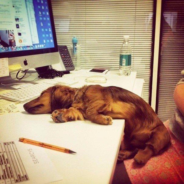 Домашнее животное на работе