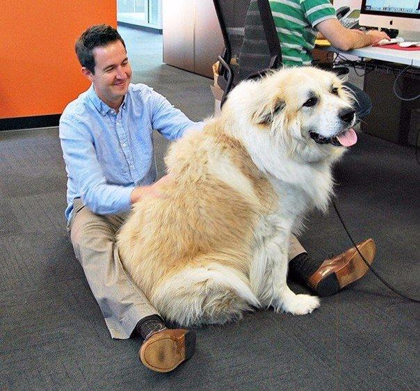 Собака на работе с хозяином