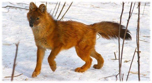 Canis lupus rufus
