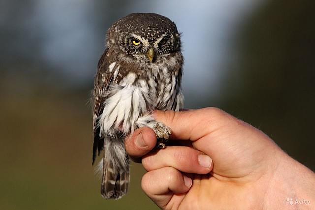 10 интересных фактов. Самая маленькая сова