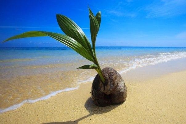 Маленький кокос