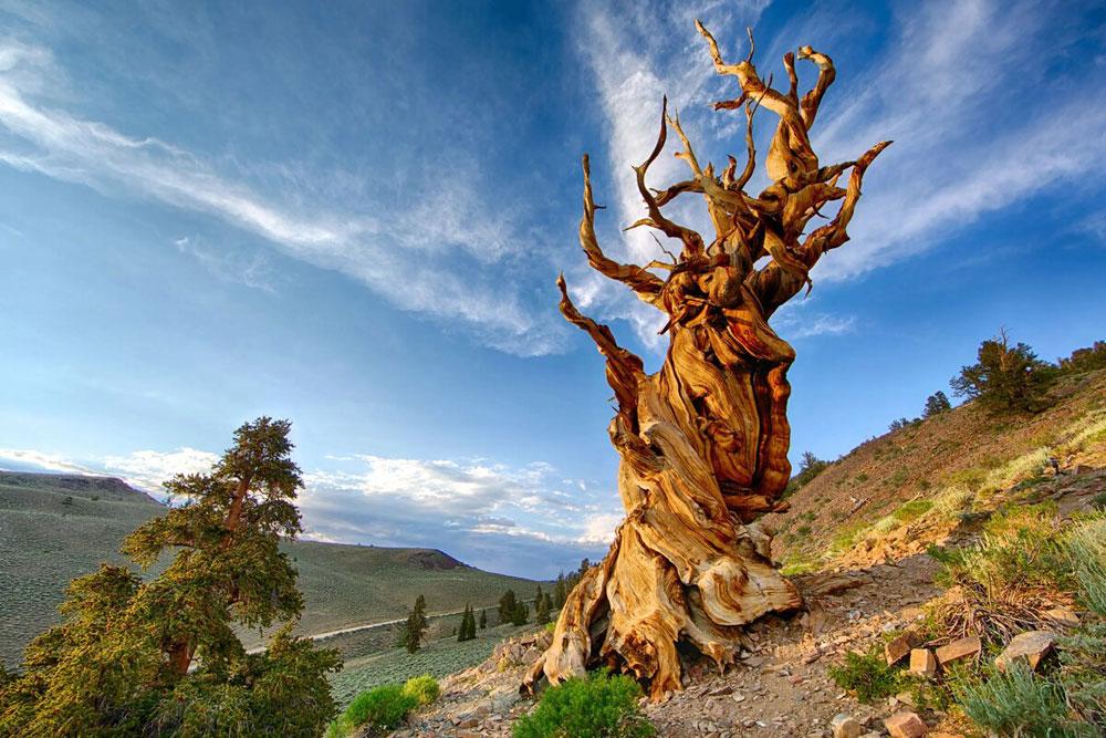 Интересные факты. Самое старое дерево